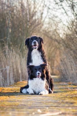 Monty und Kenzie Bordercollies