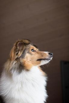 Sheltie Bailey Portrait