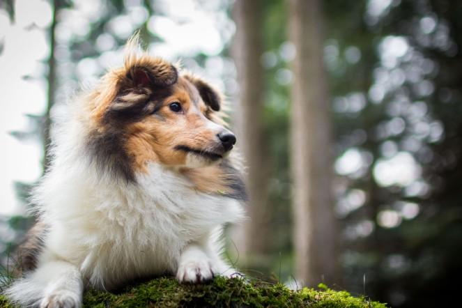 Sheltiehündin Bailey im Wald