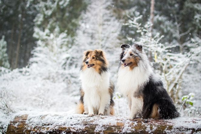 Sheltie Bailey und Sheltie Nala