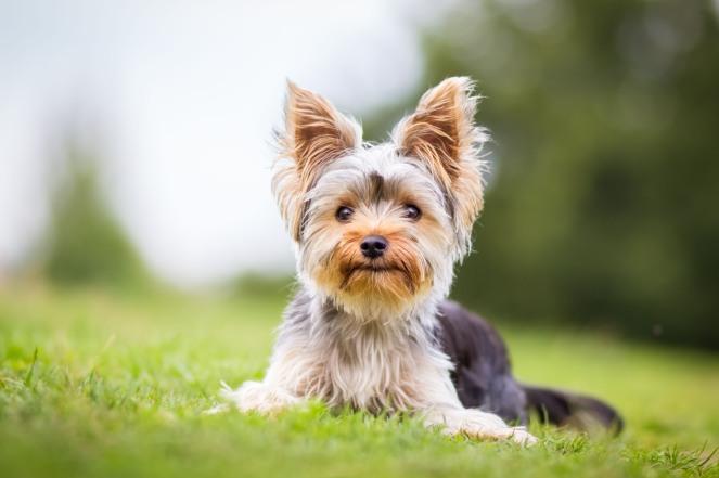 Yorki Terrier auf der Wiese