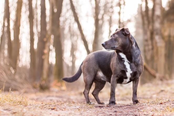 Mischlinngshund