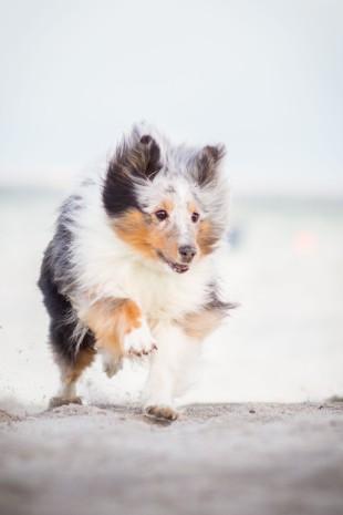 Hütehund rennt am Meer