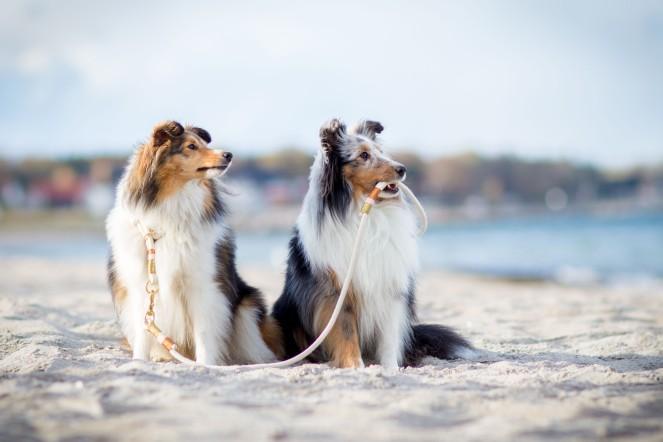 Sheltie Bailey und Sheltie Nala an der Ostsee