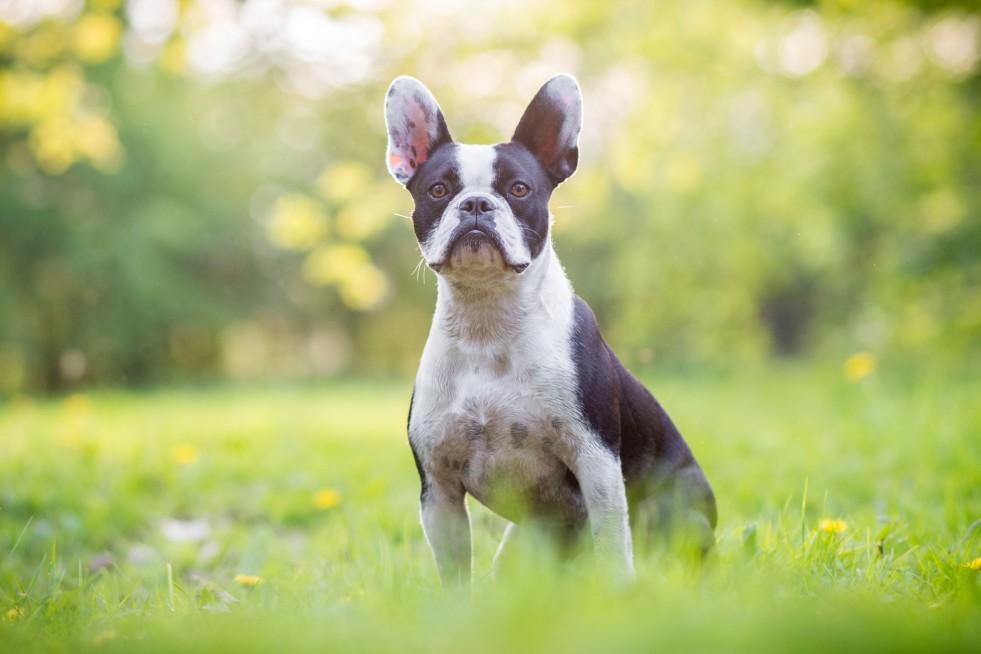 französische Bulldogge Fotoshooting