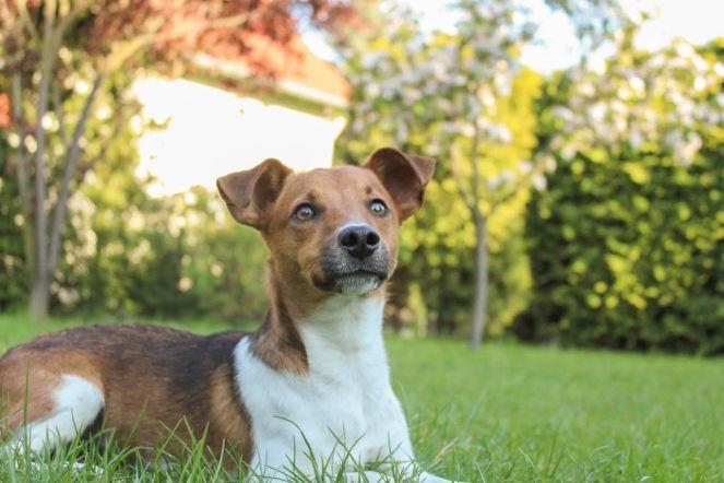 Jack Russel Robby Gewinner Pets Deli