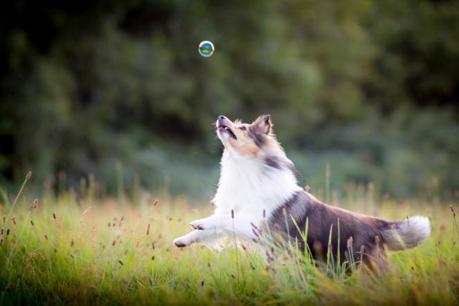Bewegungsfotos vom Hund beim Seifenblasen fangen