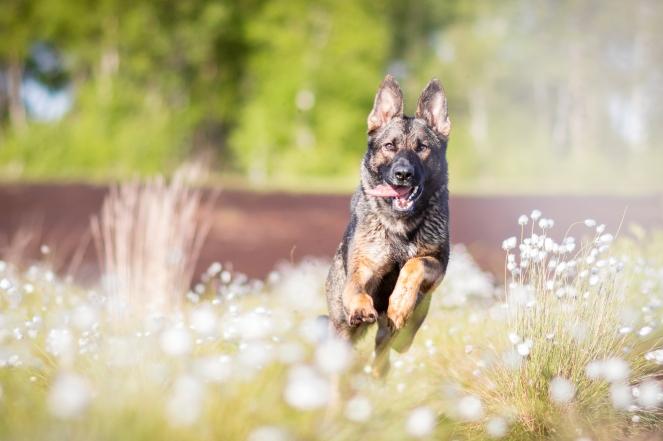 Bewegungsfotos von einem Schäferhund machen