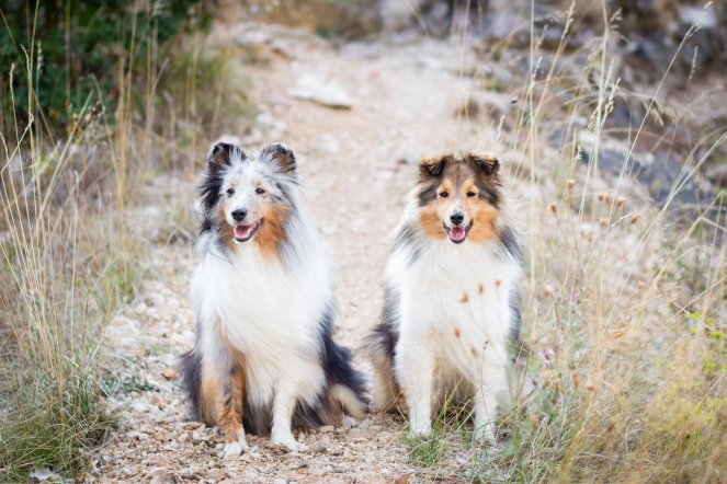 blue Merle Sheltie und Dark Zobel Sheltie