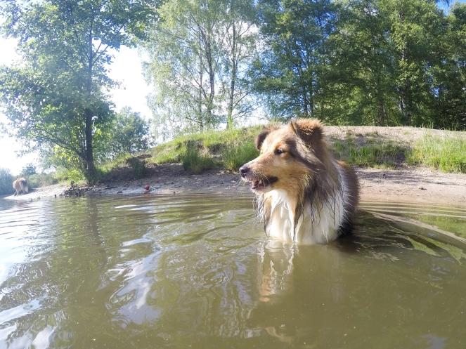 Sheltie lernt schwimmen